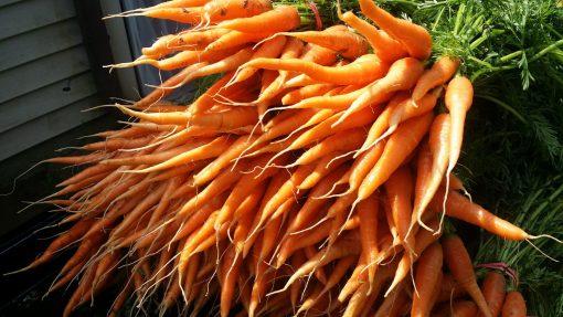 Clean Genes Farm Carrots