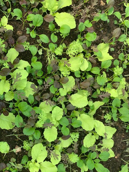 Clean Genes Farm Premium Greens Mix