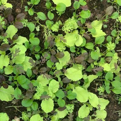 Clean Genes Farm Premium Greens Mix