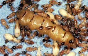 شركه مكافحة النمل الابيض بالخفجي شركة مكافحة النمل الابيض بالخفجي شركة مكافحة النمل الابيض بالخفجي 0502980124 Anti termite Companys Khafji