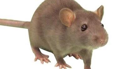 شركات مكافحة الفئران بالاحساء شركة مكافحة الفئران بالاحساء 0531390740