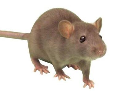 شركات مكافحة الفئران بالاحساء