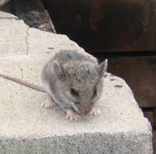 شركة مكافحة الفئران بالخبر, شركة مكافحة الفئران بالخبر شركة مكافحة الفئران بالخبر 0503152005