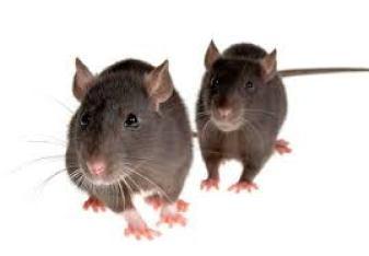 شركة مكافحة الفئران بالدمام.. شركة مكافحة الفئران بالدمام 0531390740