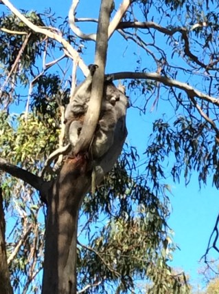 Koalas just sitting pretty in the shaded eucalyptus trees of KI..