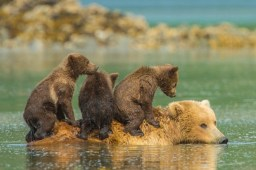 Riding bear-back... A mother bear takes a dip in the water to cool off in the warm summer sun but refuses to leave her three youngsters behind - so they climb aboard her back. The trio of tiny grizzlies clumsily climb onto her in a desperate attempt to avoid being left behind on the shore. That's because the day before, she left them stranded on the beach - much to their displeasure. This time, they refused to be left alone as they remain dependant on her for food, being no older than just a few months. SEE OUR COPY FOR DETAILS. Pictured: The three cubs use their mother's back as a raft to cross the water. Please byline: Jon Langeland/Solent News © Jon Langeland/Solent News & Photo Agency UK +44 (0) 2380 458800