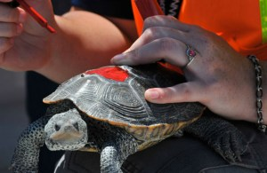 A nesting turtle picked off the airfield at JFK Airport is sized for documentation purposes shortly before being released back to nature.