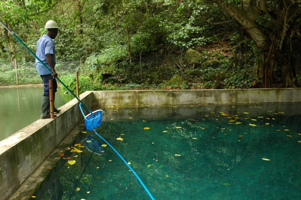 A worker uses a net to scoop leaves out of a cistern that provides drinking water to about 5,000 residents in southern Dominica. Students in Engage Dominica are making plans to cap the cistern.