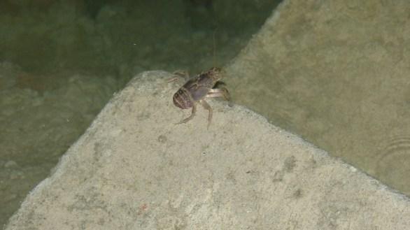 Cangrejo que jamás había visto en el lago Los Reyunos.