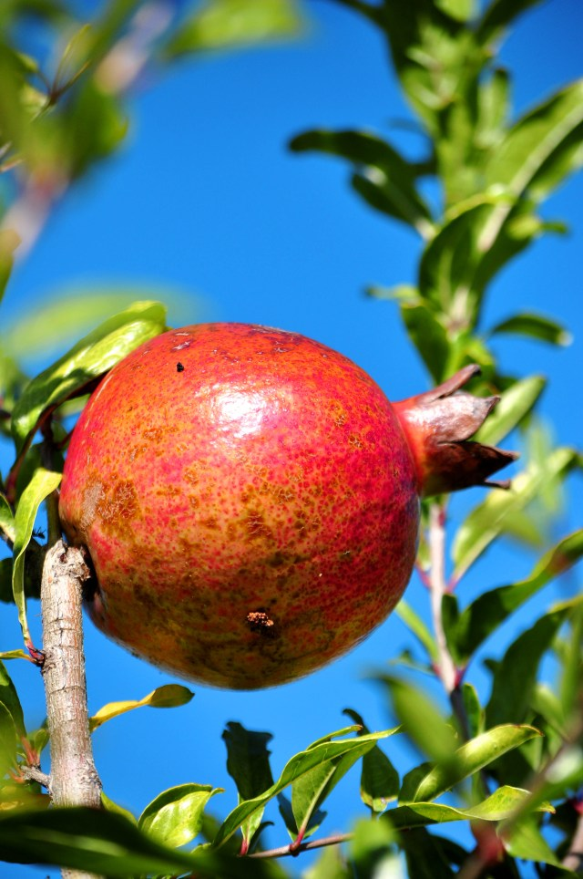 Blue Sky Pomegranate
