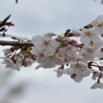 Visit the Cherry Blossoms In the DC Area