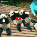 Pandas Is A Fun Family Documentary #IMAXPandas