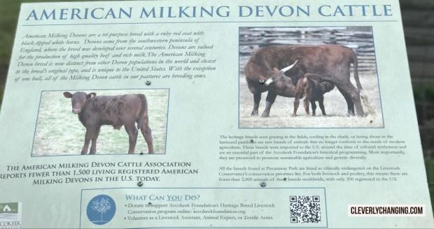 The American Milking Devon Cattle