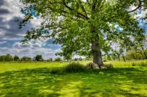 Moutons sous arbre-Clicandzoomphoto