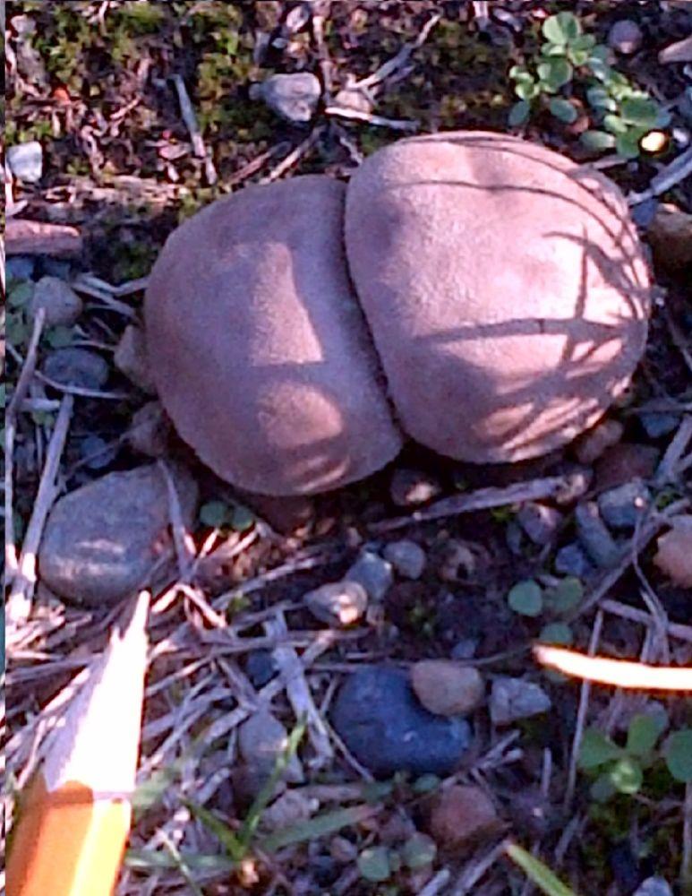 MT#984 Mystery Mushroom
