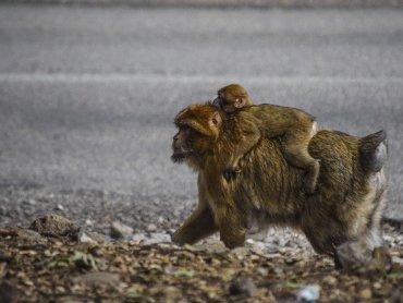 Marocco Scimmie nella Foresta dei Cedri: Mamma e Piccolo