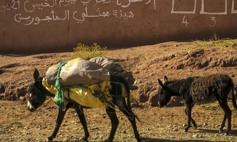 Marocco Animali delle Tribù Nomadi incontrate sulla Strada