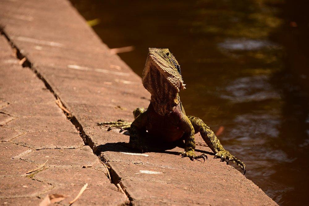 Brisbane Iguana gigante incontrata nel parco