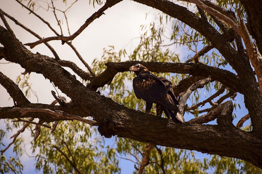Australia Aquila