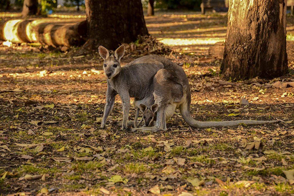 Takaraka Carvarvon Gorge Kangaroo