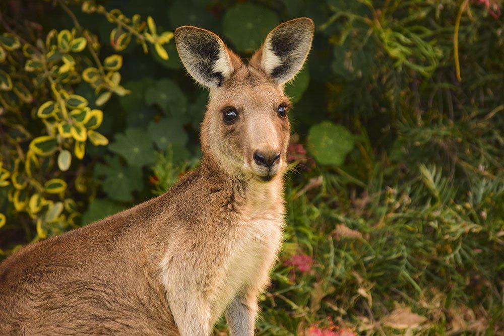 North Stradbroke Island Kangaroo