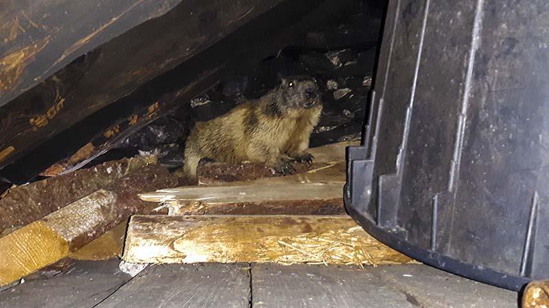 Marmotta incontrata sulle Orobie bergamasche