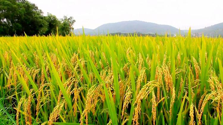 Governo confirma prorrogação de vencimento de custeios do arroz, diz Federarroz
