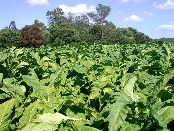 Preço do tabaco será definido em Santa Catarina