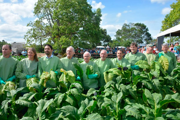 Aberta oficialmente a Colheita do Tabaco no Rio Grande do Sul