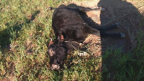 Casos de raiva bovina registrados em Barão do Triunfo reascendem alerta na região