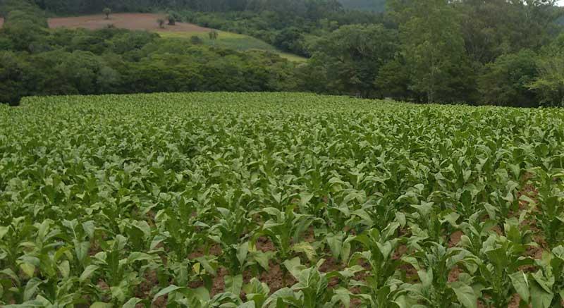 Afubra estima redução de 2,6% na produção de tabaco