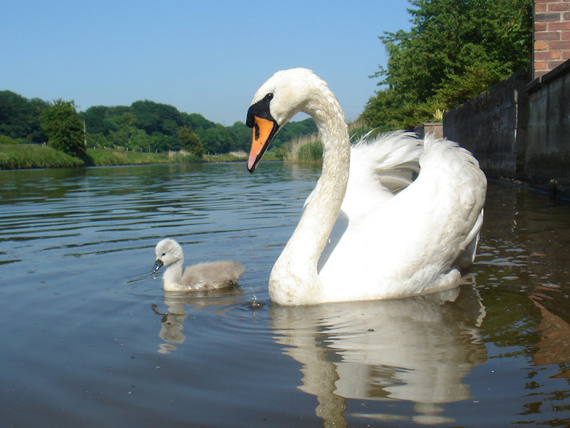 swan-with-sygnet