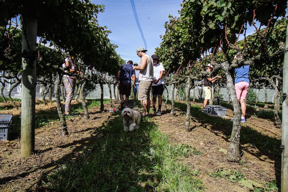2018 grape harvest: picking grapes