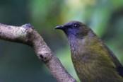 The Bellbirds on Tiritiri Matangi