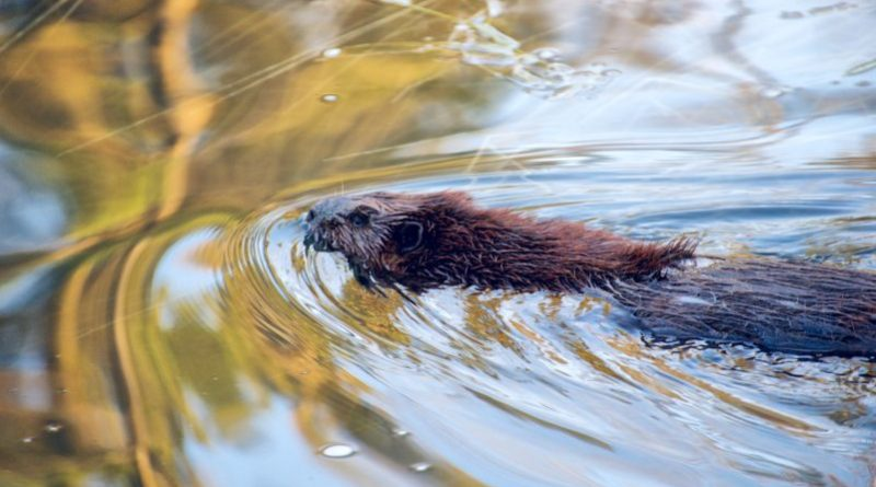 How beavers can help fight against the effects of climate change