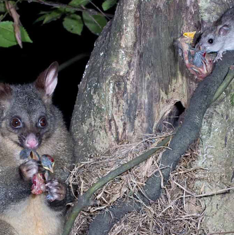 Fig. 2 Possums and ship rats are two of the biggest killers in our native forests (Image CC BY NC 3.0 NZ Nga Manu Images)