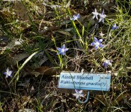 Austral bluebells in autumn