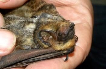 Hawaiian hoary bat