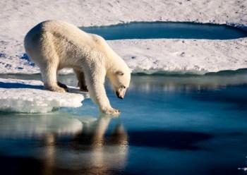 Chukchi polar bear sea ice hunt