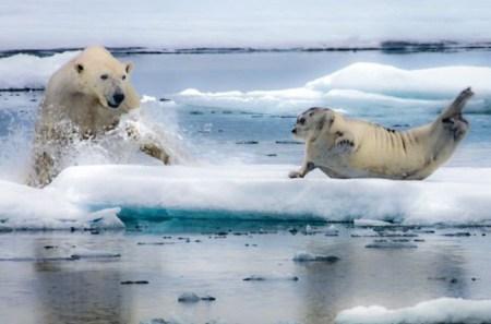 polar bear hunting seal