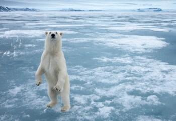 arctic polar bear sea ice