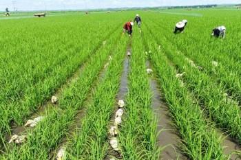 northeast china rice crop