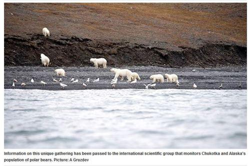 wrangel island bears on whale 29 sept 2017