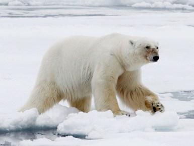 polar bear ice sheet