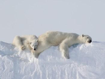 nunavut polar bears