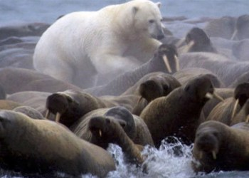 polar bear walrus hunting