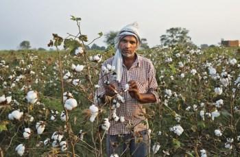 cotton farming india