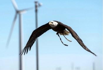 bald eagle wind turbines