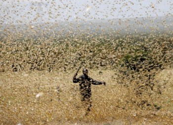 locusts india