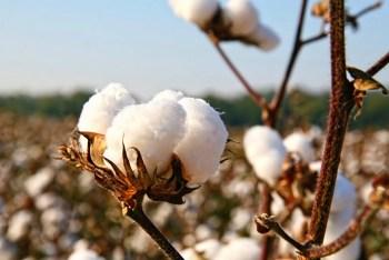 burkina faso cotton crops